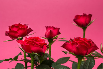 Close-up of red roses on a pink background.