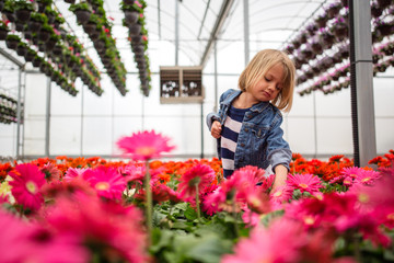 Cute girl in greenhouse touching at Gerbera daisy plants