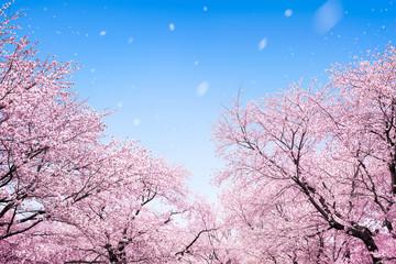 Wall Mural - Japanische Kirschblüte 桜 im Frühling