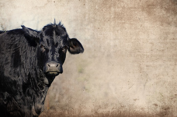 Wall Mural - Cute black cow on farm with grunge texture background, great for agriculture or rural graphics.