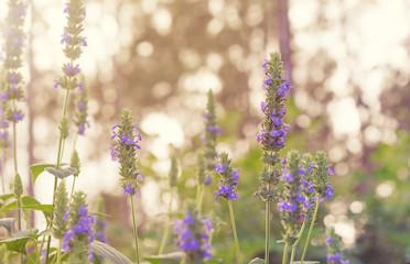 Salvia Chia foliage and purple flowers