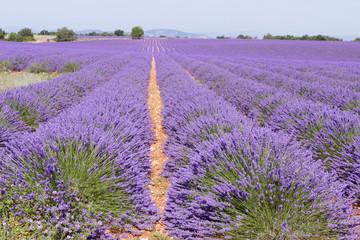 Rote Erde im Lavendelfeld