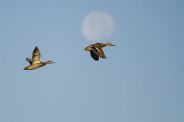 Wall Mural - Pair of Mallard Ducks Flying Past the Moon