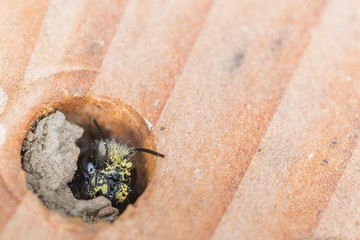 Pollen covered Mason Bee (Osmia lignaria) peeking out of its mud nest