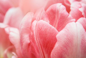 Close-up of pink tulip petals, a blurred floral background with details.