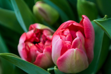 Close-up of pink tulip flowers and dark green leaves, a blurred floral background with details.