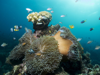 Beautiful coral reef with Anemones and fish, Mozambique