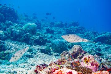 couple of Harlequin filefish diving maldives