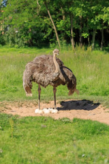 An adult ostrich stands at its nest with eggs on a background of green grass. A large gray bird. Exotic bird