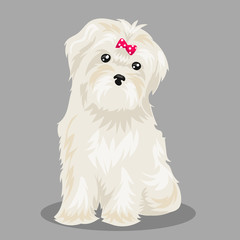 """white """"bichon frise"""" dog at one color background"""