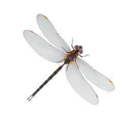 Dragonfly on top in white Blackground