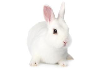 White fluffy Bunny over white