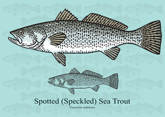 Spotted Sea Trout. Vector illustration for artwork in small sizes. Suitable for graphic and packaging design, educational examples, web, etc.