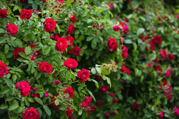 Red rose on a branch with green leaves. Beautiful summer background. Red flower