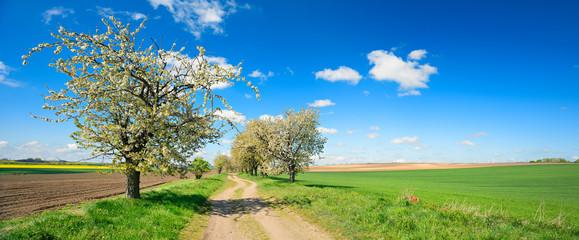 Wall Mural - Kirschbäume in voller Blüte, Feldweg durch Felder im Frühling