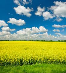 Fototapete - Rapsfeld in voller Blüte unter blauem Himmel mit Cumuluswolken