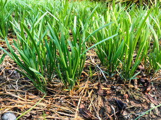 Garlic chives growing on a soil