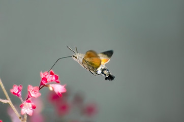 hummingbird hawk-moth over a flower (Macroglossum stellatarum)