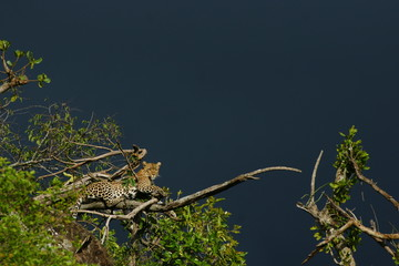Wild Leopard on a tree