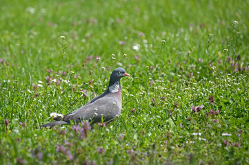 Common Wood Pigeon in the grass in spring