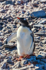 Fancy penguin chick wants hugs on the rocky beach of South Shetland Islands, Antarctica