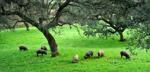 Cerdos ibéricos de pata negra, Sierra de Huelva, España