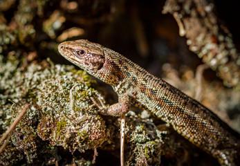 Common lizard, Zootoca vivipara in natural habitat