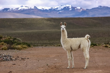 White Lama in Altiplano landscape, mountain range background, Reserva Nacional Salinas - Aguada Blancas near Arequipa, Peru
