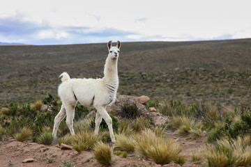White Lama in Altiplano landscape, Reserva Nacional Salinas - Aguada Blancas near Arequipa, Peru