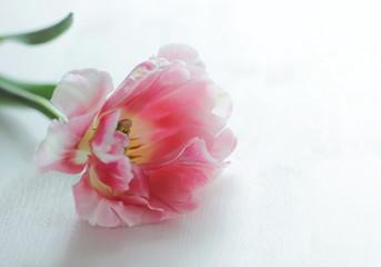 Pink Tulip. Tulip closeup. Tulip on a White Table.