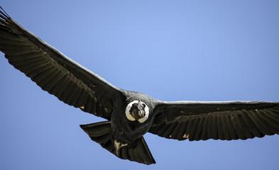 Close up of a majestic Condor andino against blue sky at Cruz del Condor , Colca Canyon, Peru