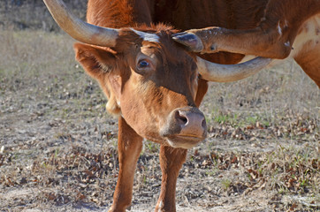 Wall Mural - Red heifer cow scratching head with hoof on the farm.  Cattle are cute and funny animals.