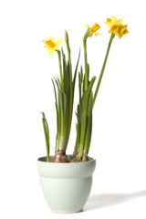 Narcissus plant in flower pot isolated on white background