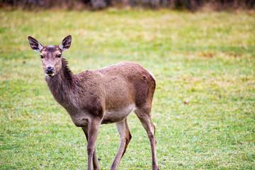 Photo sur Aluminium Cerf Deer standing on grassy field