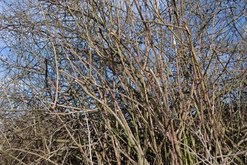 spiky branches of a hip rose bush