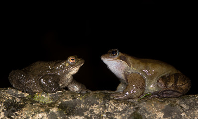 Common frog (Rana temporaria) and toad (Bufo bufo). Comparison of two common European amphibians, in profile, showing differences in skin texture and size