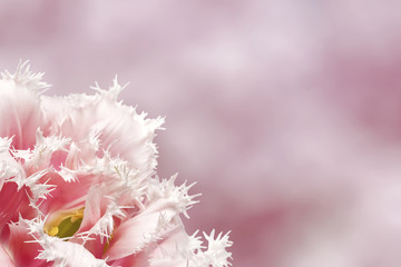 Pink tulip on pink background