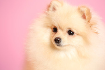 Pomeranian spitz dog on color background
