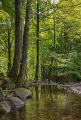 Mountain stream surrounded by alders.