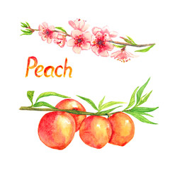 Peaches branch with flowers and fruits, isolated hand painted watercolor illustration