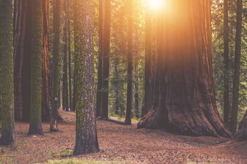 Papiers peints Forets Giant Sequoia Forest Place