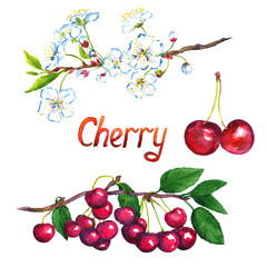 Cherry branch with flowers and fruits, isolated hand painted watercolor illustration