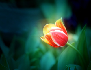 Photo of a beautiful tulip