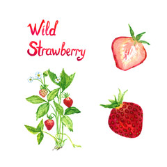 Wild strawberry plant blooming and with ripe berries, ripe berry and cut slice, isolated set hand painted watercolor illustration