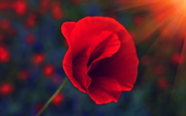 wild  flower poppy at sunset. Remembrance .