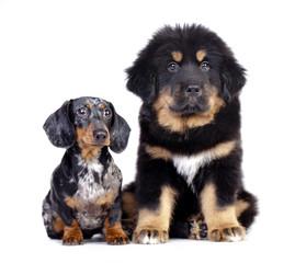 Big and small dog, dachshund and Tibetan mastiff