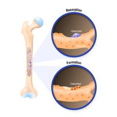 Osteoblast and osteoclast
