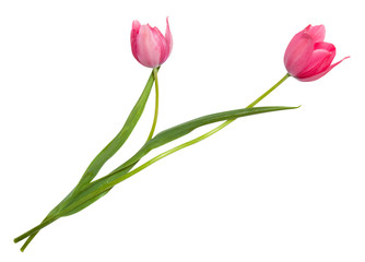 Isolated tulip flowers isolated on white