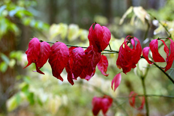Red leaves on a branch against the backdrop of deciduous forest. Close-up. Autumn. Russia