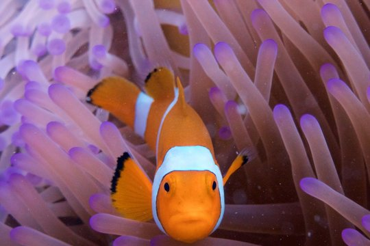 clownfish in anemone indonesia diving sulawesi